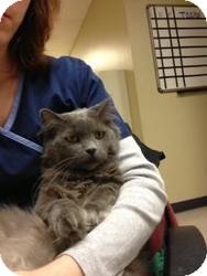 Domestic Longhair Cat for adoption in Birmingham, Alabama - Elton