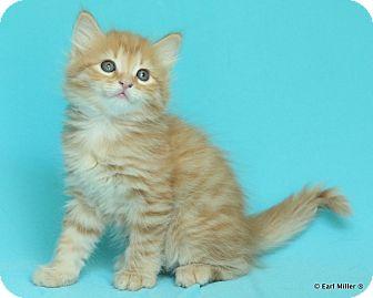 Domestic Longhair Kitten for adoption in Las Vegas, Nevada - Banjo