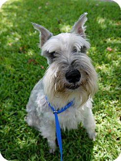 Schnauzer (Miniature) Dog for adoption in Baton Rouge, Louisiana - Barkey