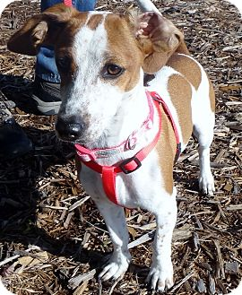 Dachshund/Beagle Mix Dog for adoption in Tulsa, Oklahoma - Mitzi