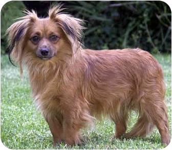 Papillon/Dachshund Mix Dog for adoption in Marina del Rey, California - Mona