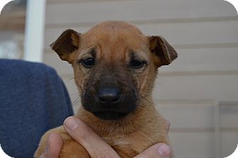 Shepherd (Unknown Type) Mix Puppy for adoption in Westminster, Colorado - Lexi