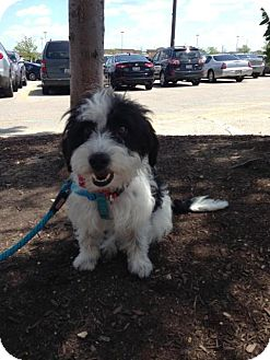 Terrier (Unknown Type, Small)/Westie, West Highland White Terrier Mix Dog for adoption in Orland Park, Illinois - Finney