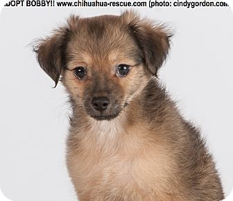 Chihuahua Mix Puppy for adoption in Dallas, Texas - Bobby - Puppy