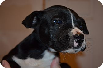 Boxer Mix Puppy for adoption in Westminster, Colorado - Aj