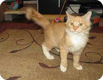 Domestic Mediumhair Kitten for adoption in Edmond, Oklahoma - Pikkiwoki
