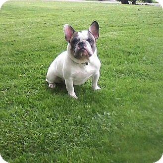 French Bulldog Dog for adoption in Columbus, Ohio - Dexter