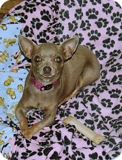 Chihuahua Dog for adoption in Pleasant Plain, Ohio - Katrin