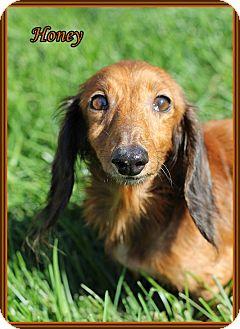 Dachshund Dog for adoption in Lincoln, Nebraska - HONEY