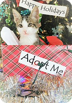 Domestic Shorthair Kitten for adoption in Fredericksburg, Texas - Cupid