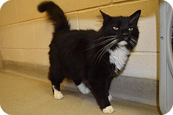 Domestic Longhair Cat for adoption in Bucyrus, Ohio - Oscar The Cat