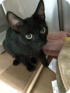American Shorthair Cat for adoption in New York, New York - Colada