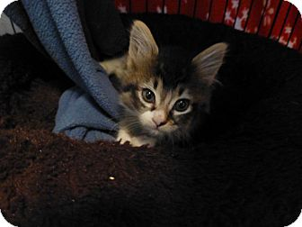 Domestic Mediumhair Kitten for adoption in Quincy, California - Miss Kitty