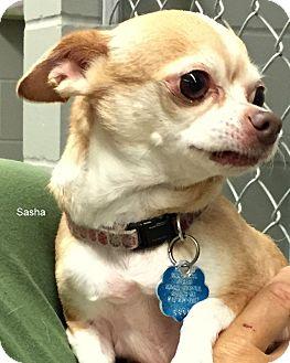 Chihuahua Dog for adoption in Hibbing, Minnesota - Sasha