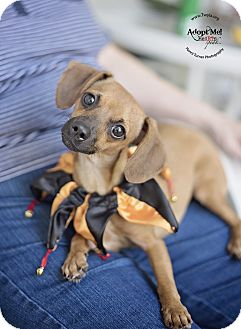 Dachshund/Chihuahua Mix Dog for adoption in Kingwood, Texas - Charlotte