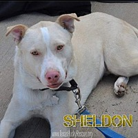 Adopt A Pet :: Sheldon - North Richland Hills, TX