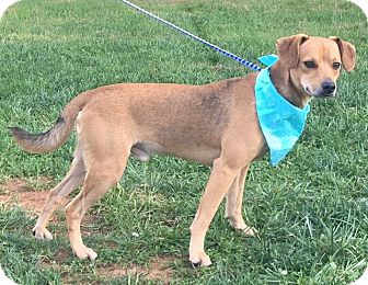 Terrier (Unknown Type, Small) Mix Dog for adoption in Lexington, North Carolina - BRUTUS