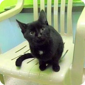 Domestic Shorthair Kitten for adoption in Janesville, Wisconsin - Twix