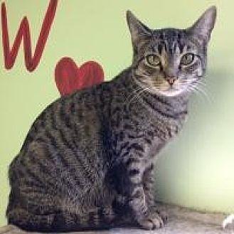 Domestic Shorthair Cat for adoption in Hudson, Florida - Buffy