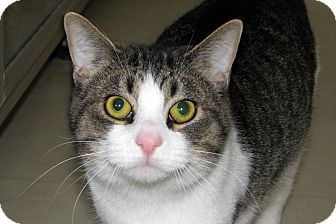 Domestic Shorthair Cat for adoption in Ruidoso, New Mexico - Boris