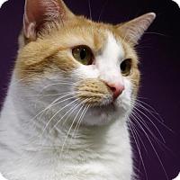 Adopt A Pet :: Puddin' Pop - Herndon, VA