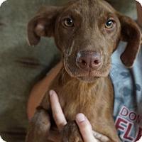 Adopt A Pet :: Cara - Oviedo, FL