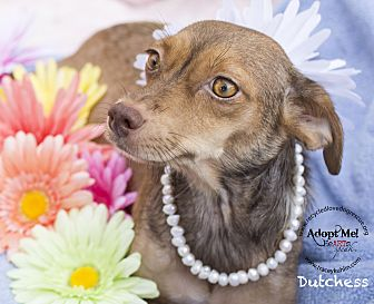 Dachshund/Terrier (Unknown Type, Small) Mix Dog for adoption in Inland Empire, California - DUTCHESS