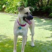 Shepherd (Unknown Type)/Retriever (Unknown Type) Mix Dog for adoption in Houston, Texas - Angel