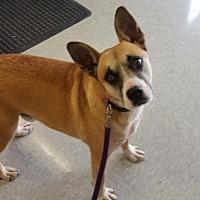 Boxer Mix Dog for adoption in Thomasville, North Carolina - Maddoc