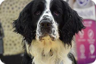 English Springer Spaniel Dog for adoption in Denton, Texas - Ringo