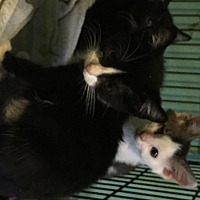 Adopt A Pet :: Mickie - East Brunswick, NJ
