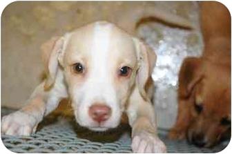 Hound (Unknown Type) Mix Puppy for adoption in Walker, Michigan - Dawn