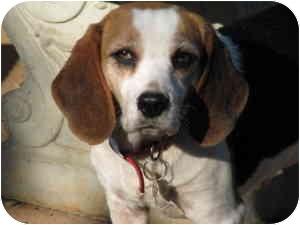 Beagle Dog for adoption in McDonough, Georgia - Zoey