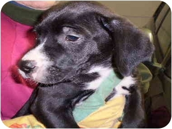 Labrador Retriever Mix Puppy for adoption in Broadway, New Jersey - Knish