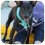 Photo 4 - Labrador Retriever/Great Dane Mix Dog for adoption in Largo, Florida - MAX