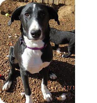 Labrador Retriever/Great Dane Mix Dog for adoption in Westminster, Colorado - Cooper