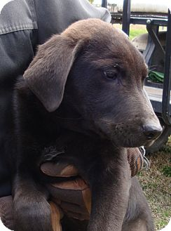 Labrador Retriever Puppy for adoption in Sneads Ferry, North Carolina - Volkie, Chevy and Ford