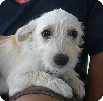 West Highland Terrier Mix Puppies Ivory | Adopted Puppy ...