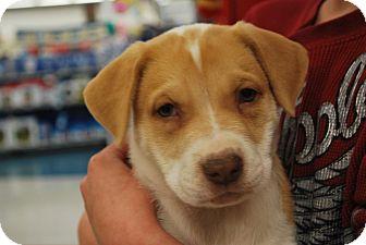 American Bulldog Mix Puppy for adoption in Ogden, Utah - Madison