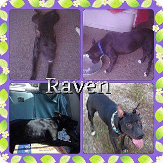 Boxer Mix Dog for adoption in Gainesville, Georgia - Raven