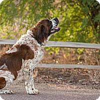 Adopt A Pet :: BRIE - Glendale, AZ