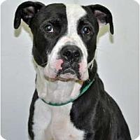 Adopt A Pet :: Bowser - Port Washington, NY