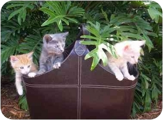 Siamese Kitten for adoption in Cocoa, Florida - Litter of 9
