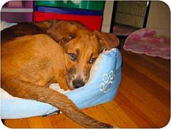 Beagle/Catahoula Leopard Dog Mix Puppy for adoption in Sunnyvale, California - Jay