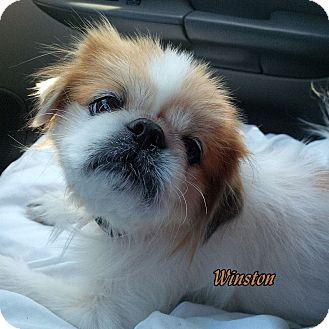 Pekingese Dog for adoption in Lincoln, Nebraska - WINSTON