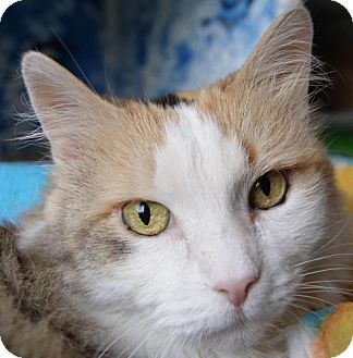 Calico Cat for adoption in Parkville, Missouri - Sabrina