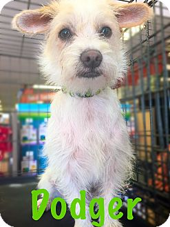 Jack Russell Terrier Mix Dog for adoption in Cerritos, California - Dodger