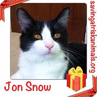 Domestic Mediumhair Cat for adoption in Tucson, Arizona - Jon Snow