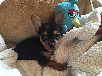 Chihuahua Mix Puppy for adoption in Waldorf, Maryland - Sam