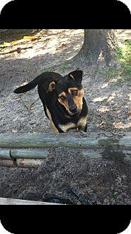 Rottweiler/Shepherd (Unknown Type) Mix Dog for adoption in Miami, Florida - Myles